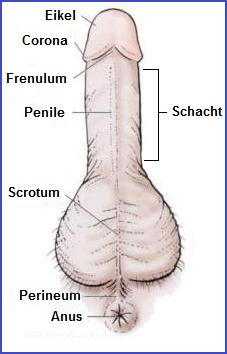 De anatomie van de penis met alle gevoelige plekjes